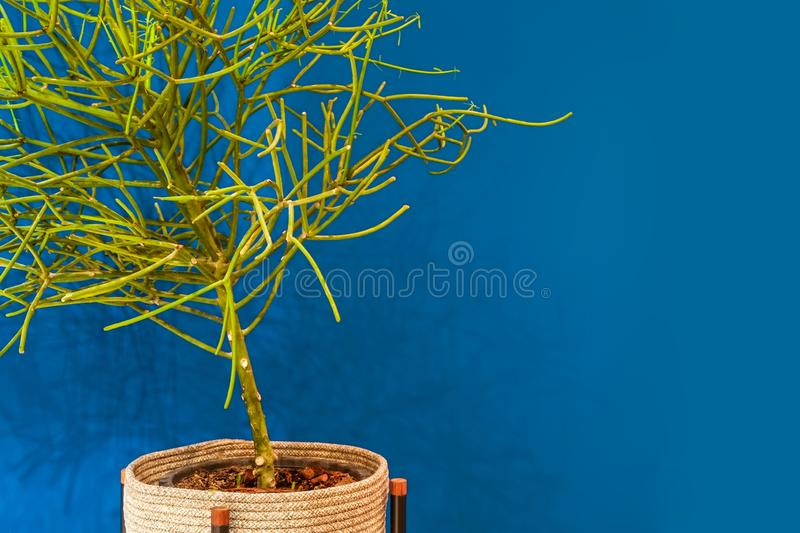 Green branches of Pencil cactus tree in a pot and blue wall. stock photos