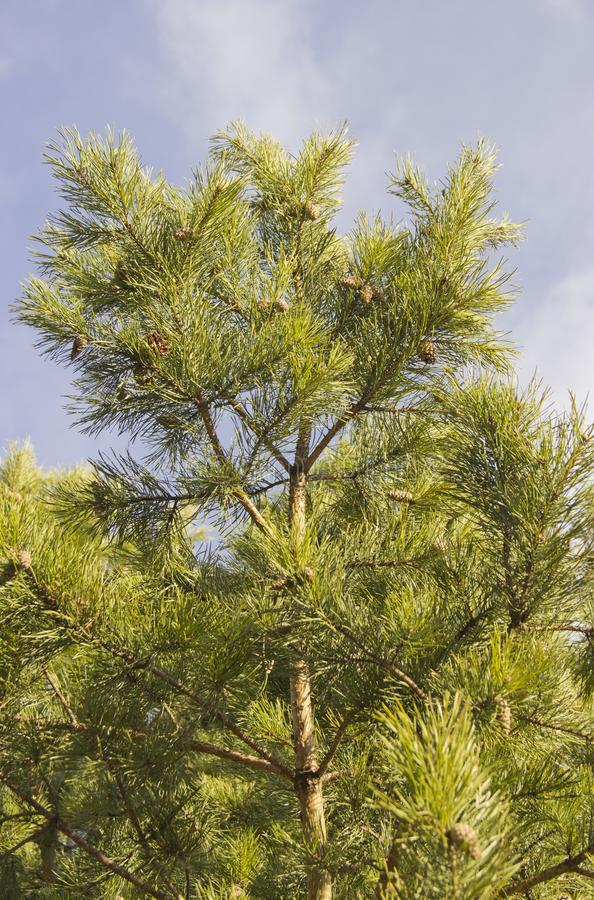 Green branches of  pine with cones stock photo