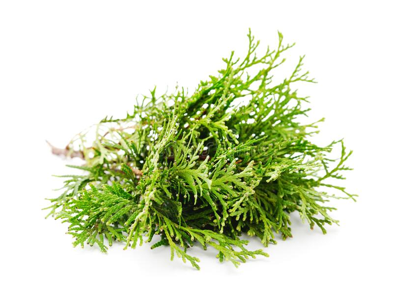 Green branches of pine. Isolated on a white background royalty free stock images