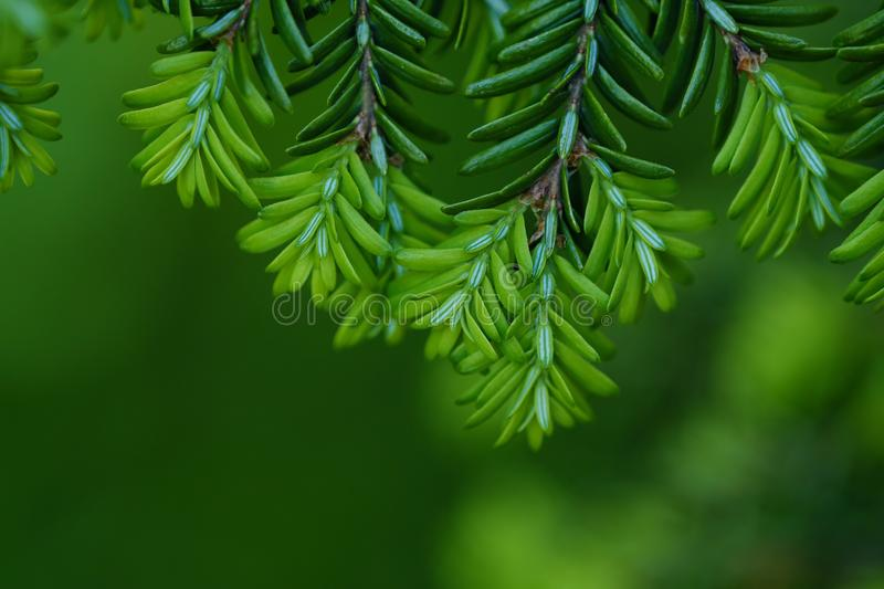 Green branches of a pine tree macro photo. View stock photography