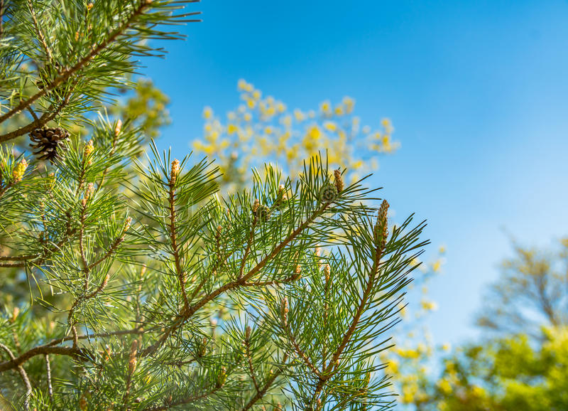 Green branches of pine with young cones royalty free stock image