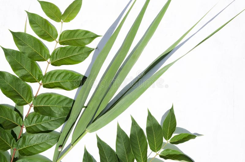 Green branches and reed on the white background. Reeds on the white background.Fresh summer leaves stock photography