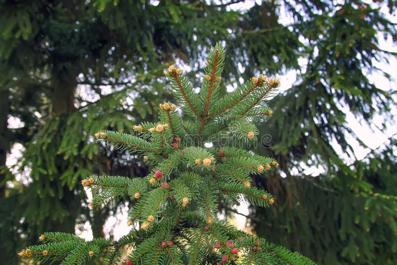 Green spruce tree in spring park stock photo