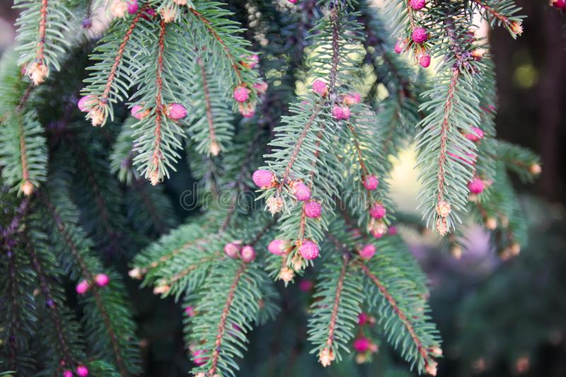 Branches of spruce tree in spring park royalty free stock image