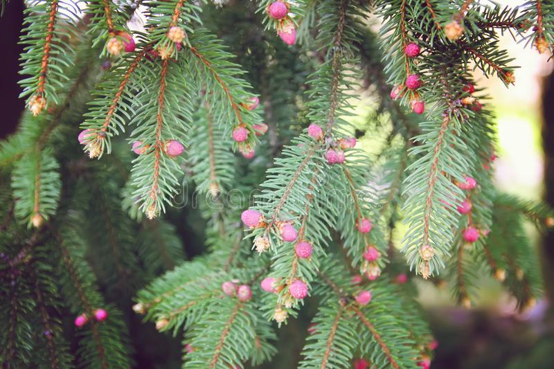 Branches of spruce tree in spring park stock images