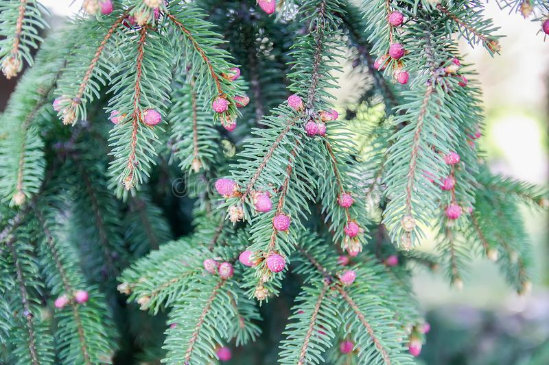Green branches of spruce tree in park royalty free stock photography