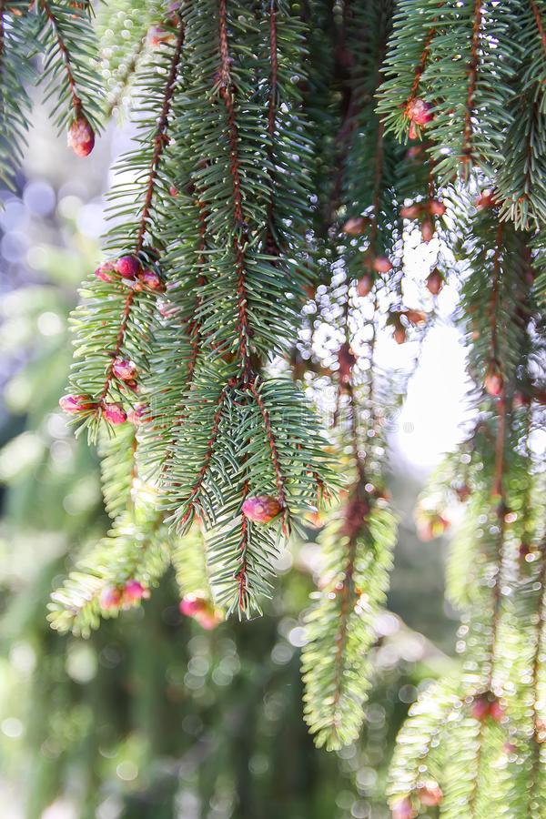 Green spruce tree in spring park royalty free stock photography