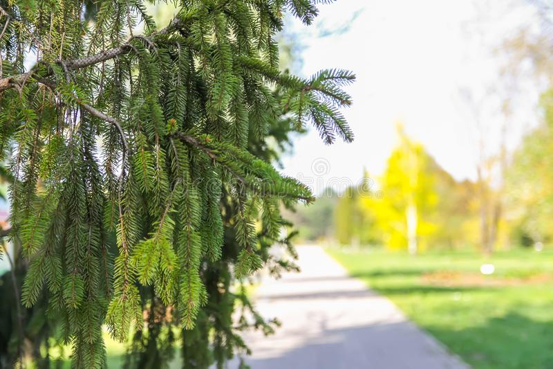 Green branches of spruce tree in park stock images