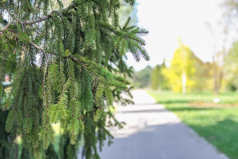 Spruce tree in spring park. Green branches of spruce tree in spring park stock images