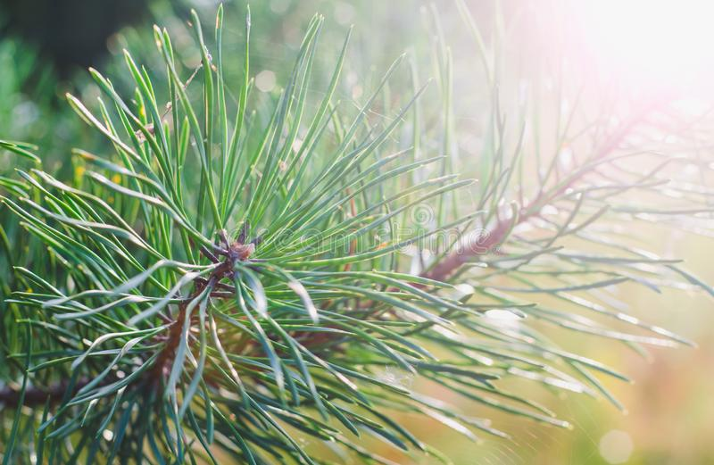 Green branches of a young pine on a background of a rising sun in the summer. Close up stock image