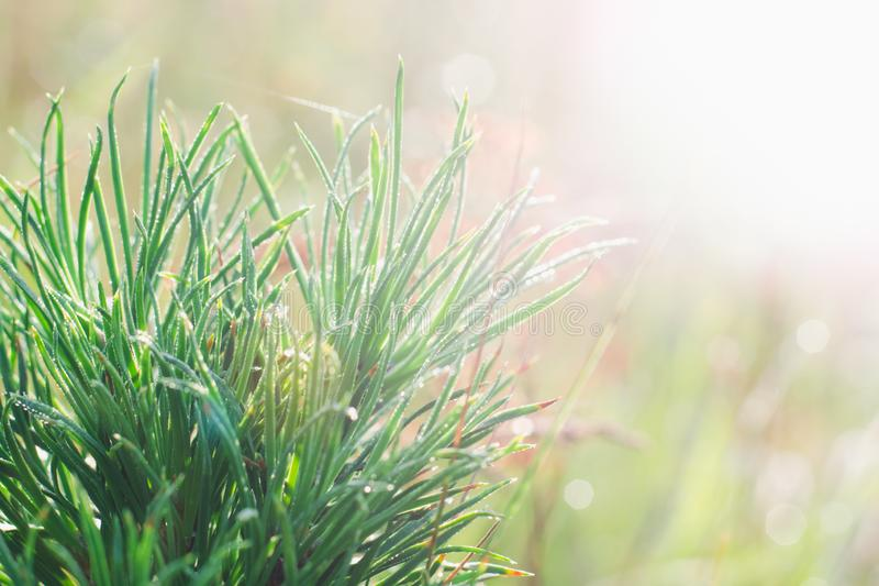 Green branches of a young pine on a background of a rising sun in the summer.  stock photo