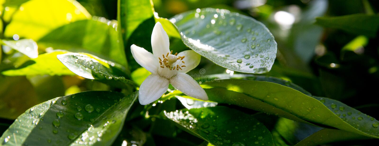 Neroli. Green bright orange tree leaves and orange flower neroli with raindrops, dew background stock photography