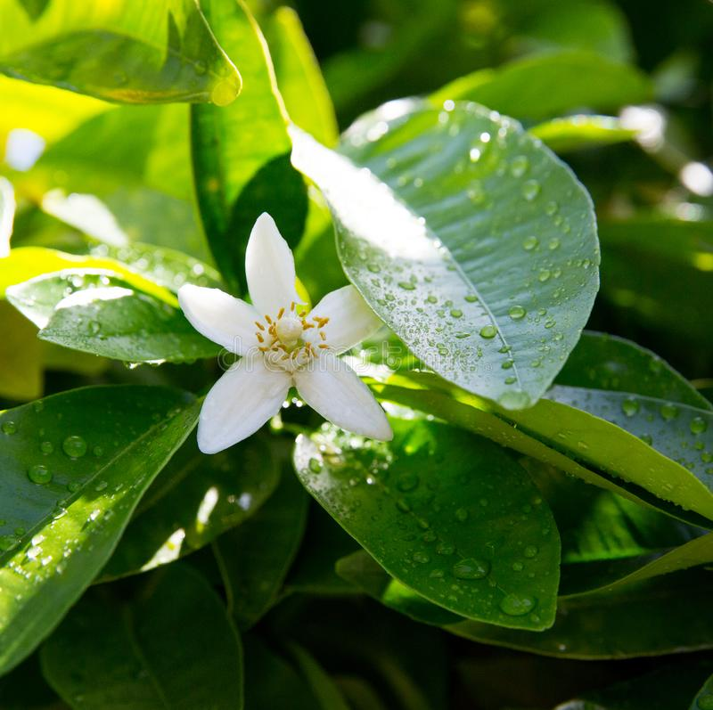 Neroli. Green bright orange tree leaves and orange flower neroli with raindrops, dew background royalty free stock photo