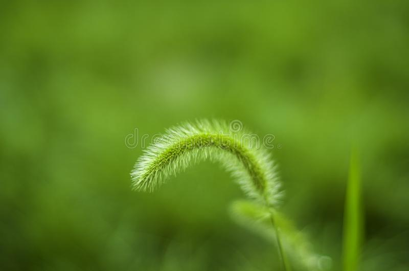 Green Bristlegrass Herb royalty free stock photo
