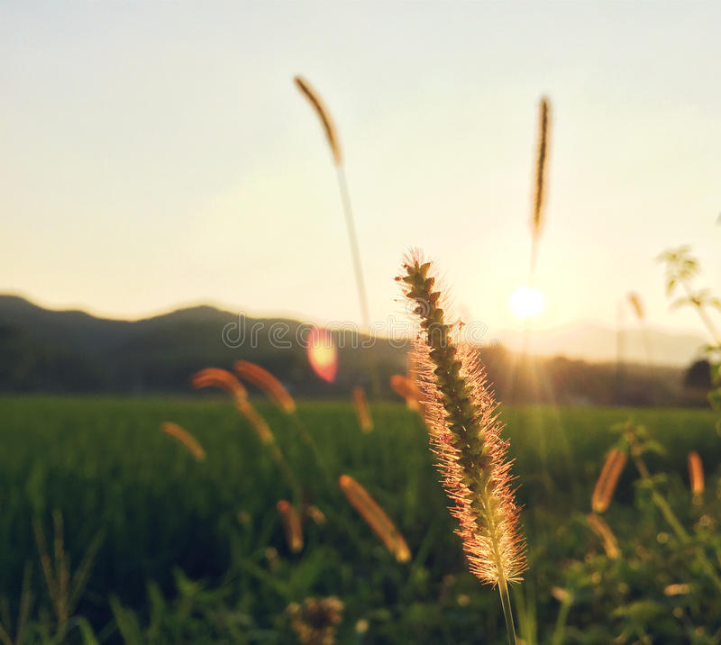 Green bristlegrass in the sunset royalty free stock images
