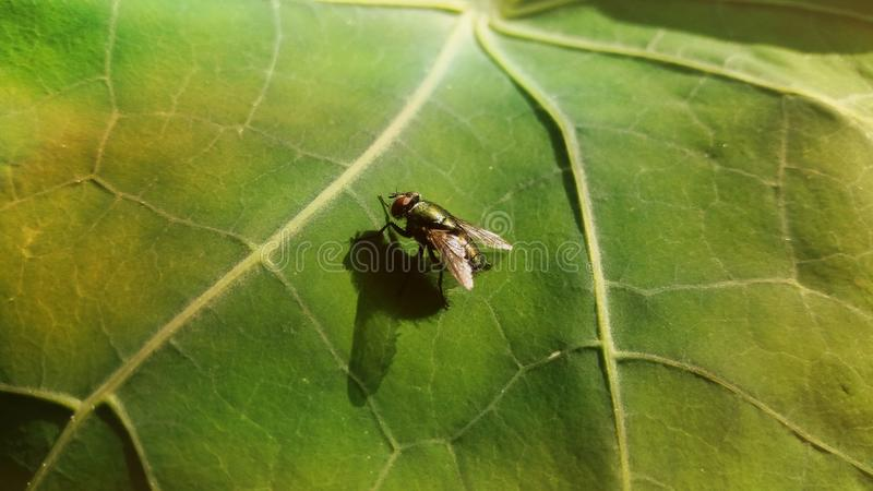 Green and bronze fly on a leaf. royalty free stock image
