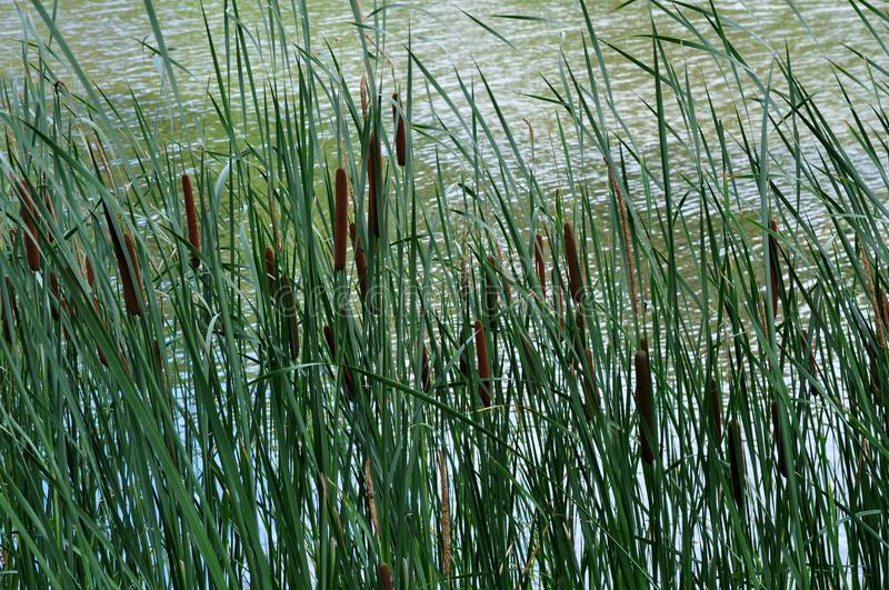 Cat tails and River royalty free stock photography