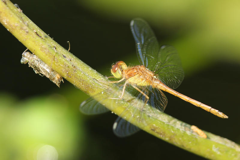 Green and Brown Dragonfly Next to Exoskeleton