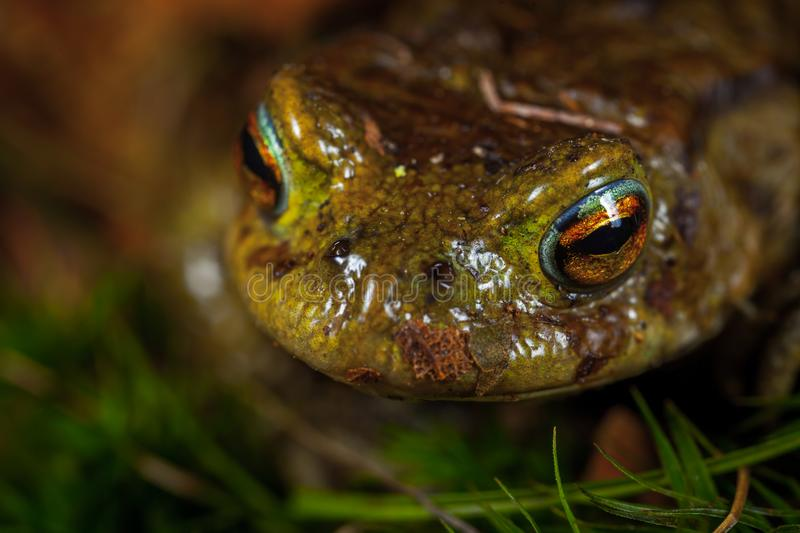 Green and Brown Frog stock images