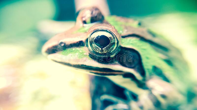 Green and Brown Frog royalty free stock photography