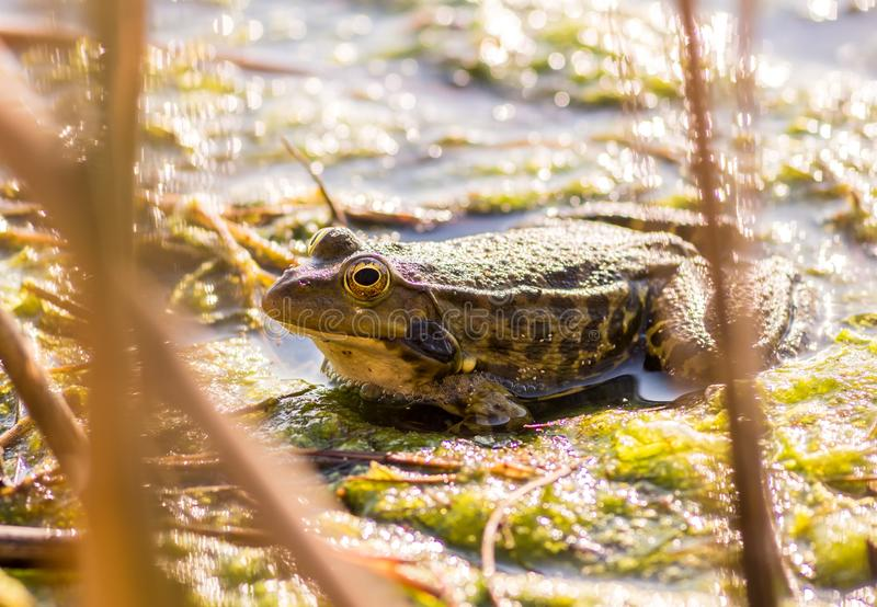 Green brown Frog or Toad sitting in the water among the grass and algae.  royalty free stock photos