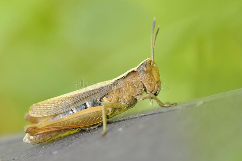Green and Brown Grasshopper stock images