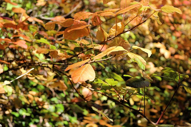Green and Brown Leaves Early in Fall royalty free stock image