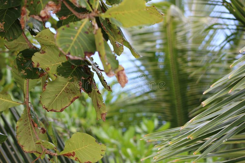 Green and brown leaves with palm tree leaves. Green and brown leaves in the foreground with palm tree leaves in the background stock images