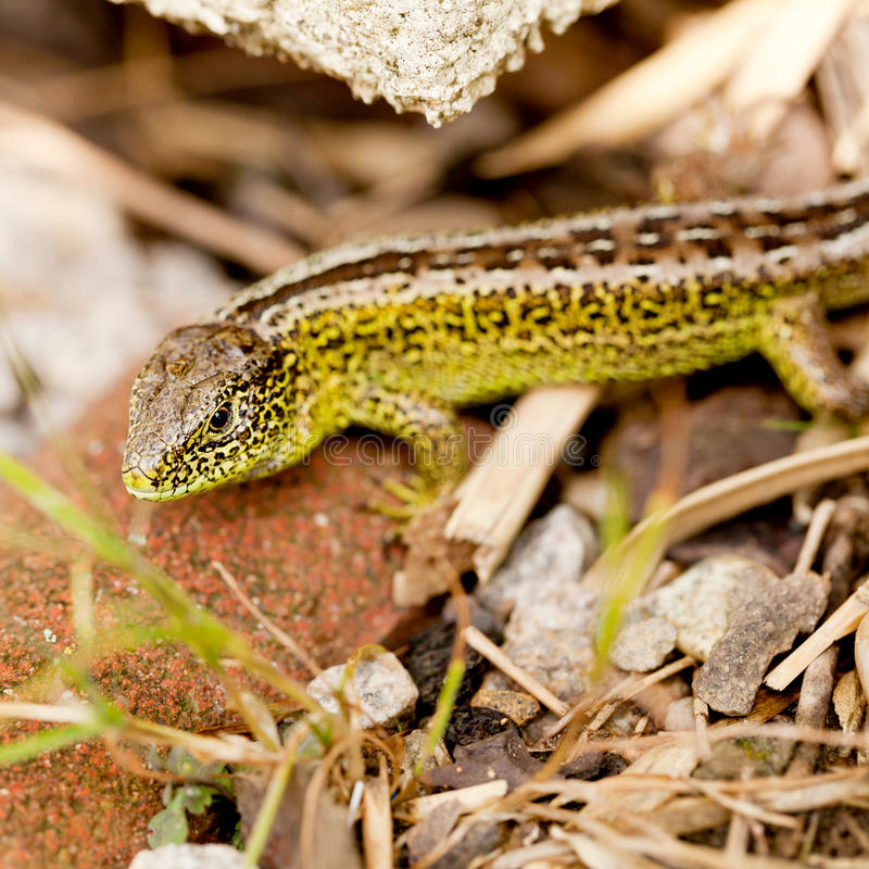 Green and brown lizard macro closeup in nature. Outdoor summertime animal royalty free stock photography