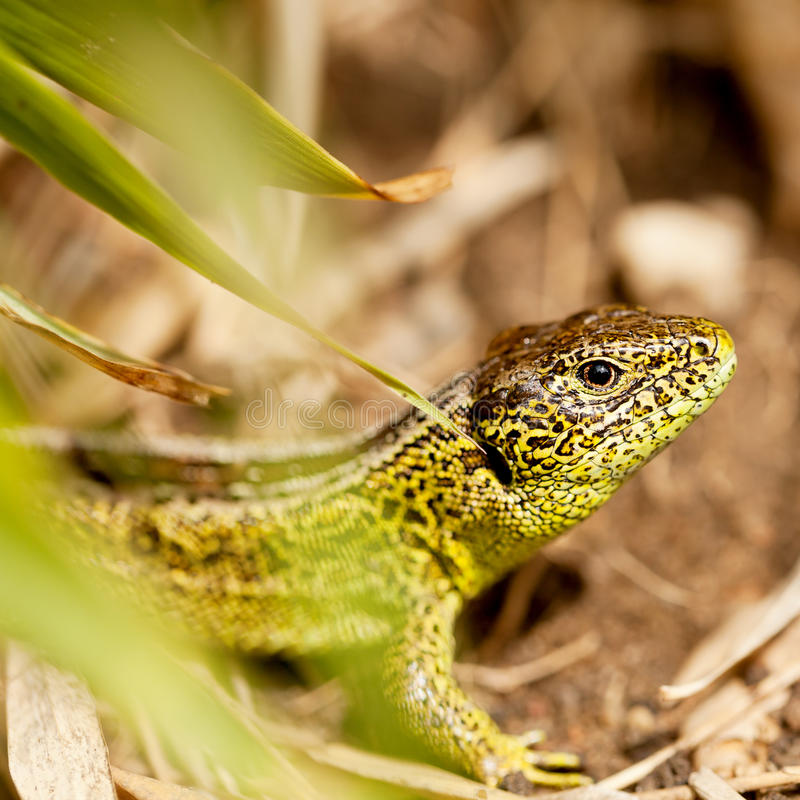 Green and brown lizard macro closeup in nature. Outdoor summertime animal royalty free stock photos