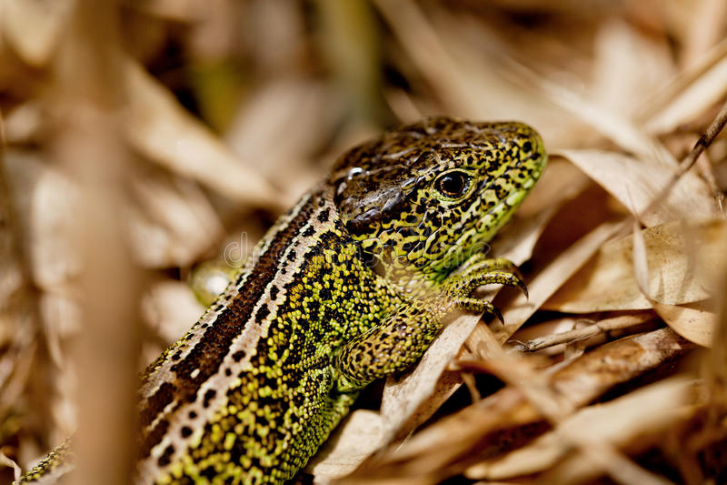 Green and brown lizard macro closeup in nature. Outdoor summertime animal royalty free stock photo