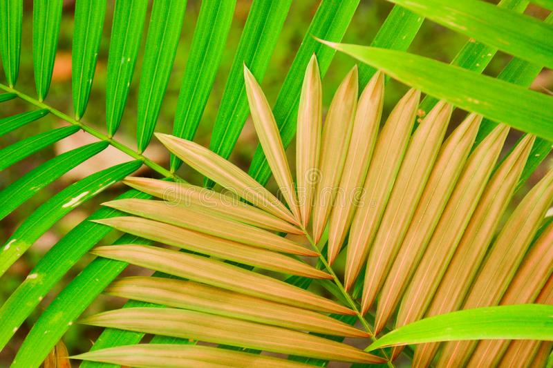Green and brown palm coconut leaf. Green and brown palm coconut leaf in tropical area stock photos