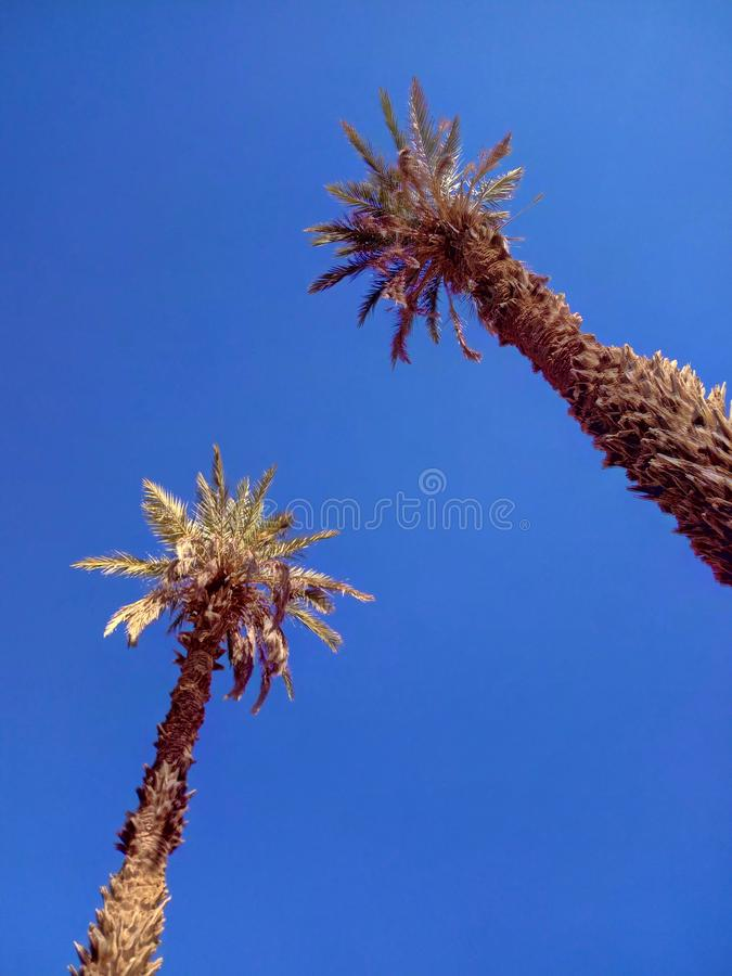 Green-and-brown palm trees under clear blue sky. I took the picture in the beautiful Moroccan stock photo