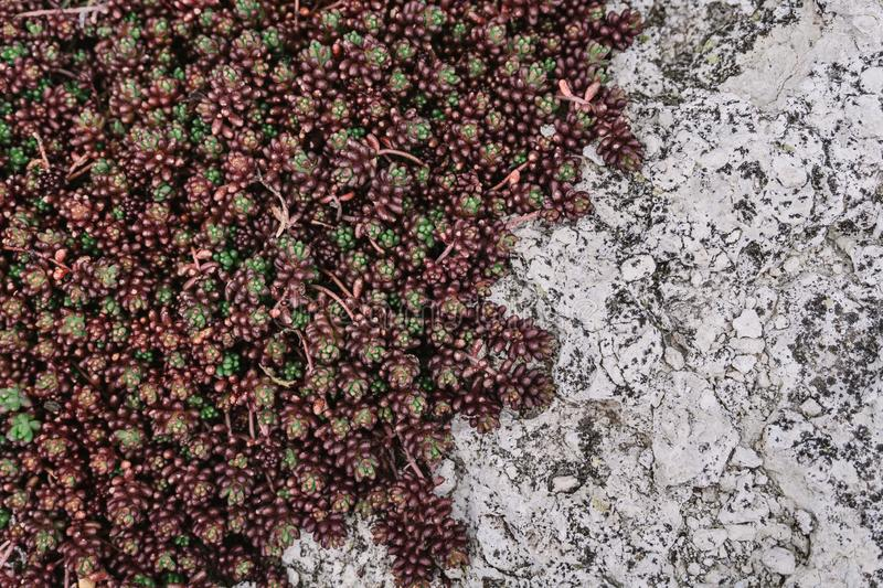 Green and brown succulent natural pattern on stone. Top view. Copy space stock images