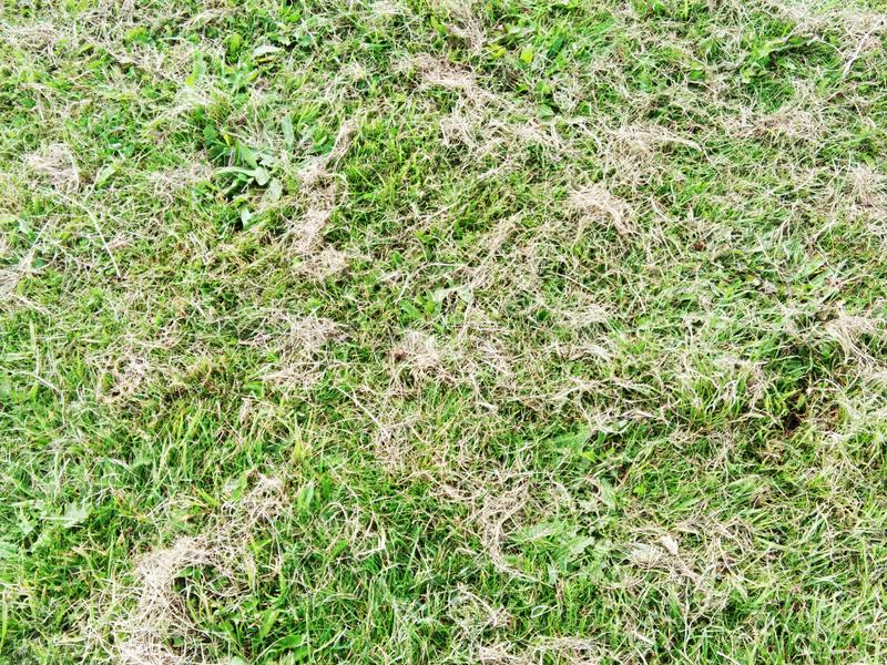 Green and brown yard. Surface of dried grasses mix with green grasses royalty free stock image