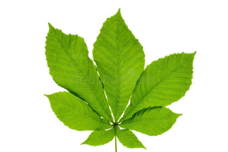 Green Buckeye Horse Chestnut Leaf Stock Image Image Of Horse Plant 152310567