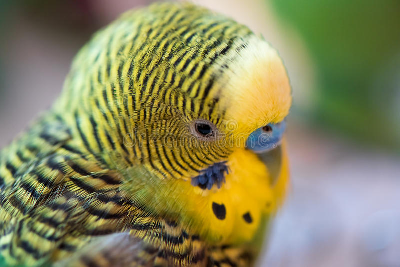 Green budgerigar parrot close up head portrait on blurred backg royalty free stock photos