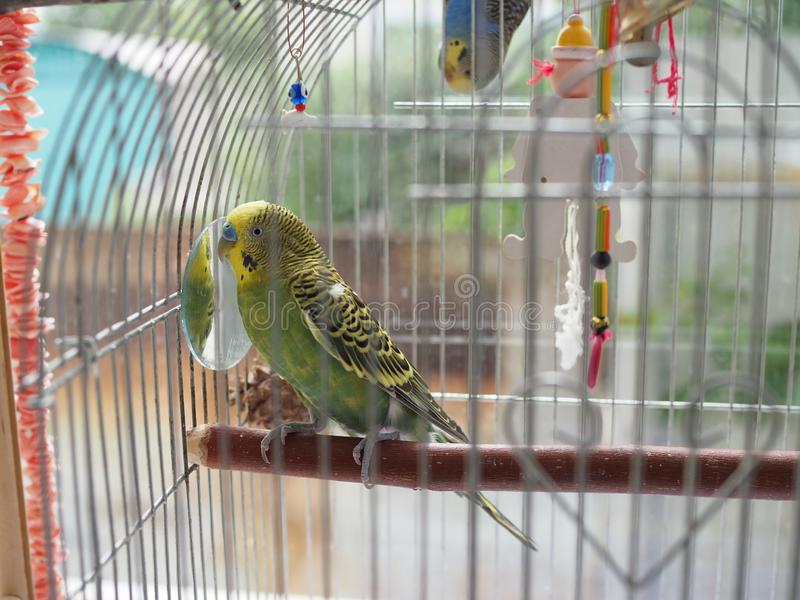 Green budgerigar parrot close up sits on cage near the mirror. Cute green budgie stock photo