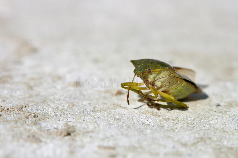 Download Green bug stock photo. Image of insect, biology, green - 25648474