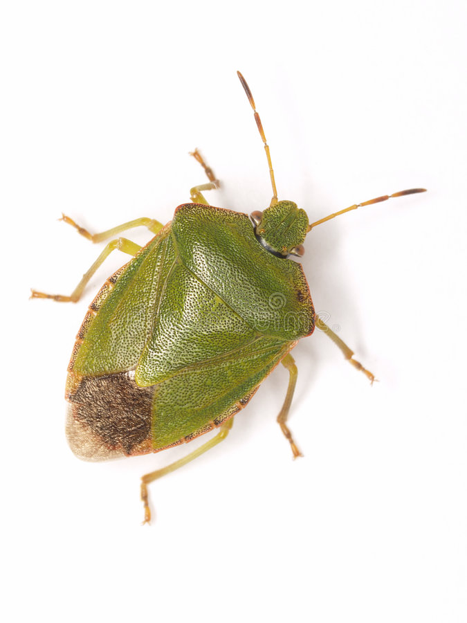 Free Green Bug Stock Photography - 3173502