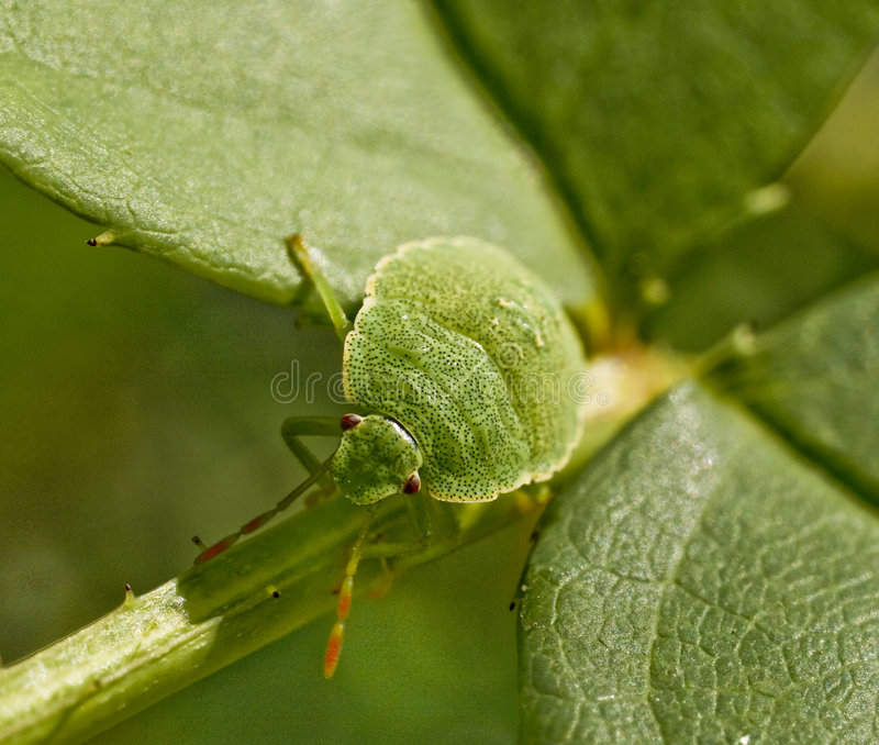 Green bug. Climbing up a green plant royalty free stock images