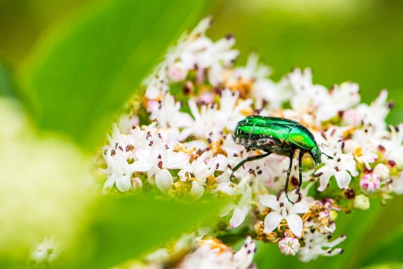 The green bug on the flower of the Sambucus nigra stock photos