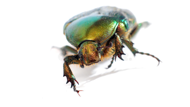 Green bug. Macro image on white background in a studio stock images