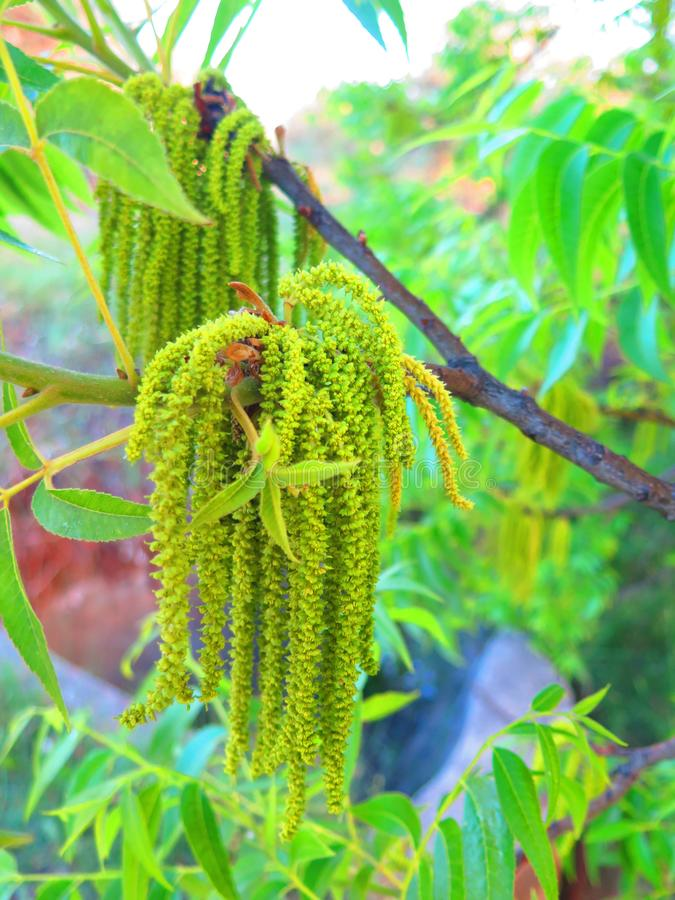 Green bunch of Catkins on pecan tree. Male pollen-bearing catkins on pecan tree in Andalusian countryside royalty free stock image