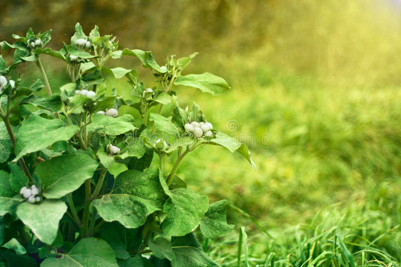 Download Green Bush Agrimony In Grass Stock Photo - Image: 34604352