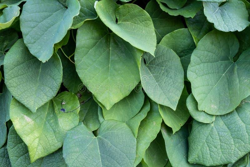 Green bush of Aristolochia Macrophylla. leaves texture close-up.  royalty free stock photo