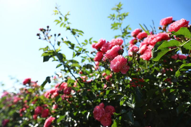 Green bush with beautiful roses in blooming garden. On sunny day stock images