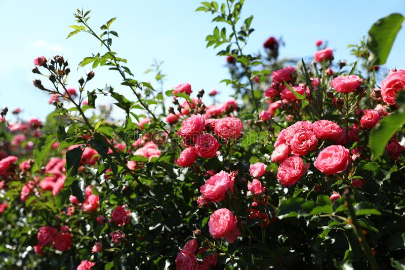 Green bush with roses in blooming garden on sunny day. Green bush with beautiful roses in blooming garden on sunny day royalty free stock images