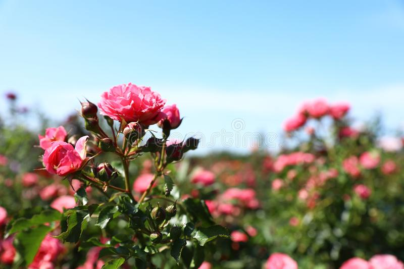 Green bush with beautiful roses in blooming garden on. Sunny day royalty free stock images