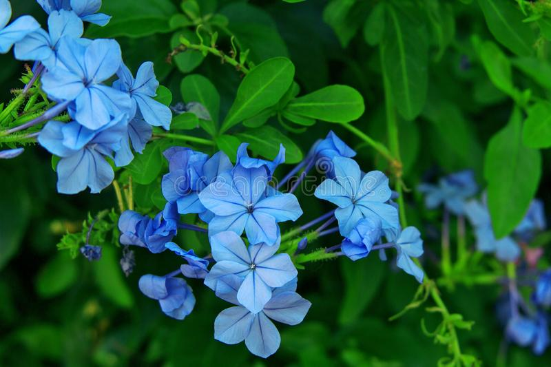 The green bush with blue jasmine flowers. Background from green bush with blue jasmine flowers stock image
